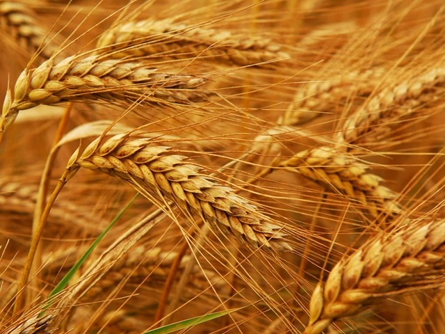 Photo of EU wheat up 10pc in April; rapeseed hits 700 euros