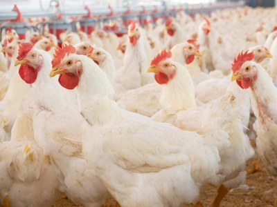 Punjab rejects news of coronavirus being found in chicken