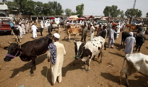 Punjab issues SOPs for cattle markets