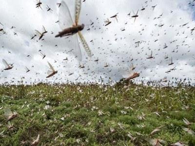 Threat of locusts: Strong regional, international cooperative mechanism sought