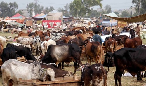 Sindh CM allows cattle markets to operate