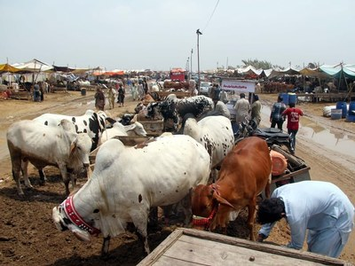 Cattle markets to remain opened from 7 a.m. to 11 p.m. in Sindh