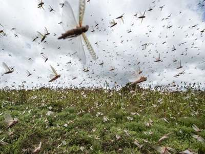 Indo-Pak border area: Locust situation remains serious in Sindh: Met