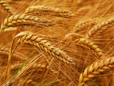 US wheat futures fall as dollar rallies