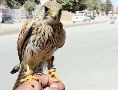 Bid to smuggle Houbara bustards, falcons foiled