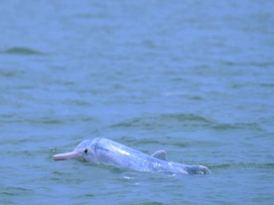 'Two large pods of pantropical spotted dolphins sighted in the Pakistani waters'