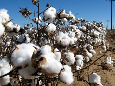 Cotton output shows alarming decline