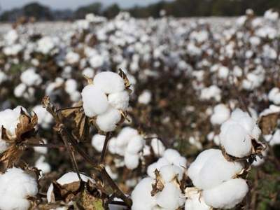 Cotton gains on firm export sales data, weaker dollar