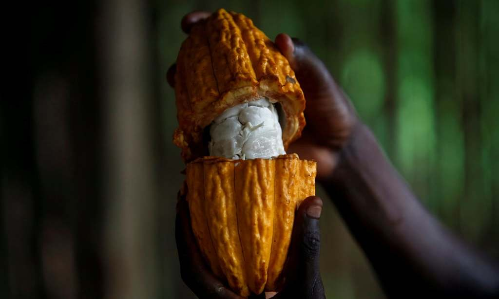 Cocoa prices steady as focus turns back to low exchange stocks