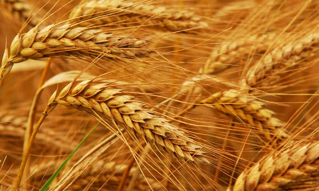 CBOT wheat sags as large Canadian crop figure eases supply worries