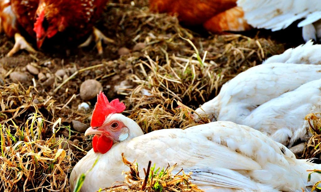 Procedure for wholesale Poultry purchase fixed