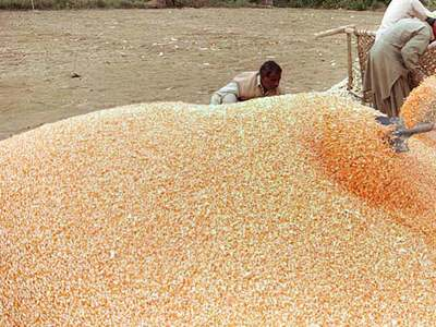 CBOT corn eases on South American rains, weaker soybeans