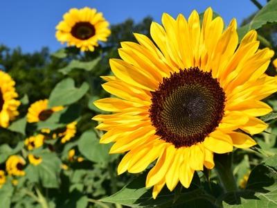 Russia considering 15pc sunflower oil export tariff
