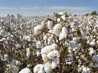 Cotton rises 2pc