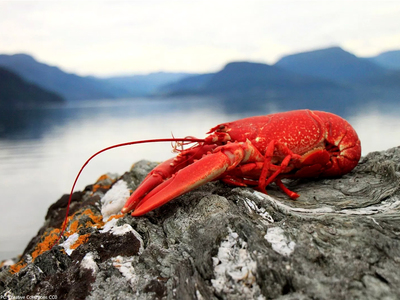 Australian lobster sector claws back trade after China ban