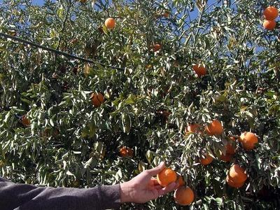 Punjab produces annual 2.3 million tonnes citrus: Secretary Agri
