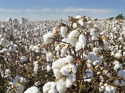 Cotton scales two-year peak