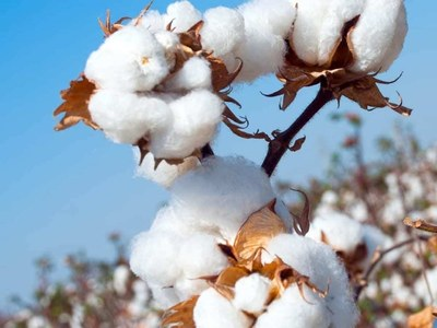 Cotton gains on robust export sales data, dollar dips