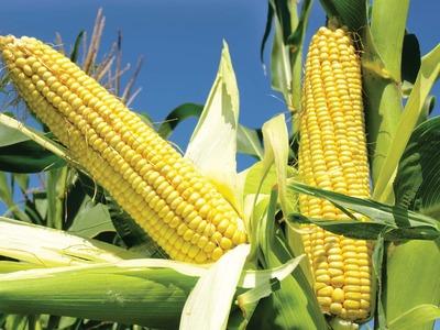 US MIDDAY: Corn tumbles
