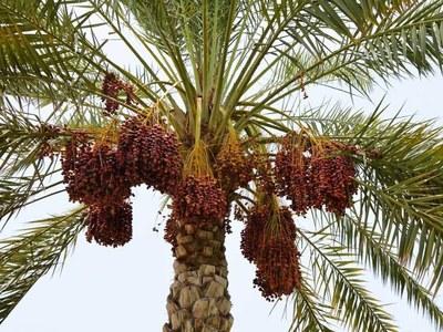 Balochistan produces 225000 tonnes dates last season