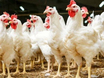 Chicken price at an all-time high