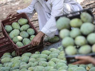 Complete ban on cutting of mango orchards in Multan demanded