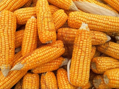 S Africa's maize output seen rising 6pc
