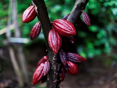 London cocoa prices fall as May's discount widens
