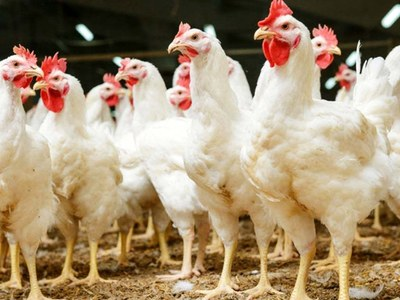 Over 1000kg of dead chickens seized in Peshawar