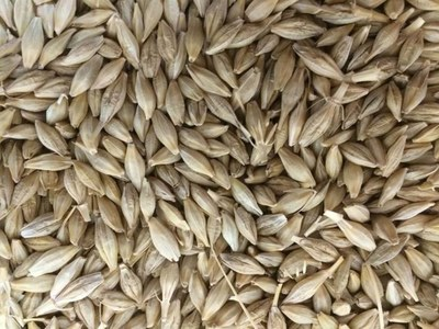 Jordan tenders to buy 120,000 tonnes of feed barley