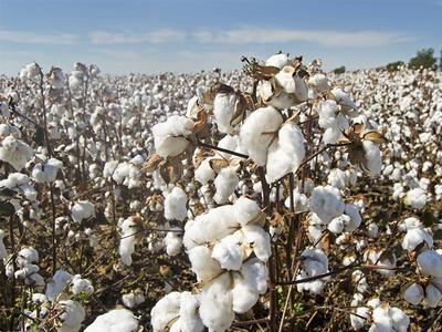 Trading activity shrinks on cotton market