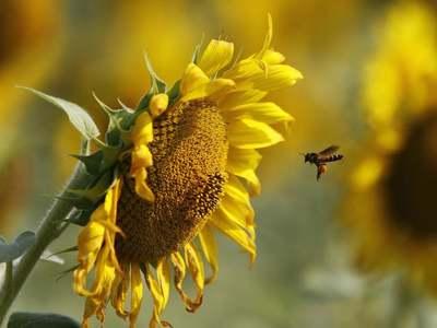 Ukraine farm minister opposes sunflower seed export ban