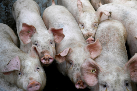 China reports African swine fever outbreak in Inner Mongolia