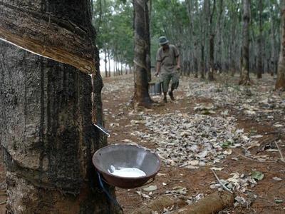 Ivory Coast rubber exports slide