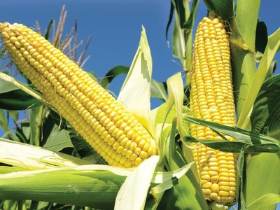 US MIDDAY: Corn exceeds eight-year high