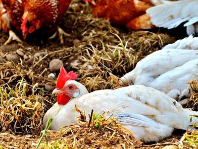 Poultry rates skyrocket in metropolis