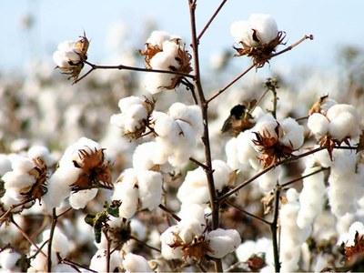 Cotton eases off peak