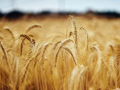 Wheat pares gains after hitting highest in a week on US crop report