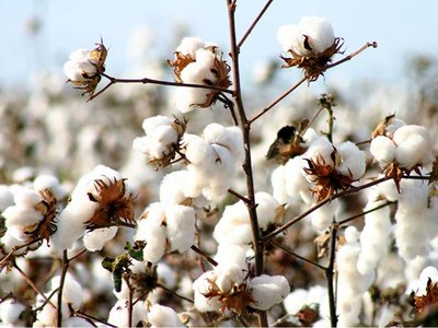 Cotton eases on lower export sales, ideal crop weather