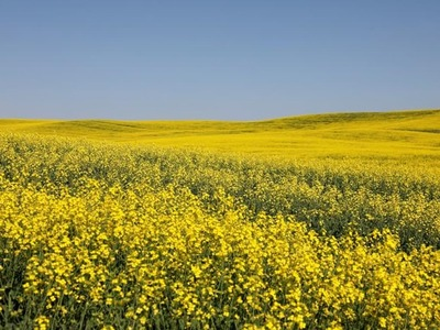 Canola futures down on soya weakness