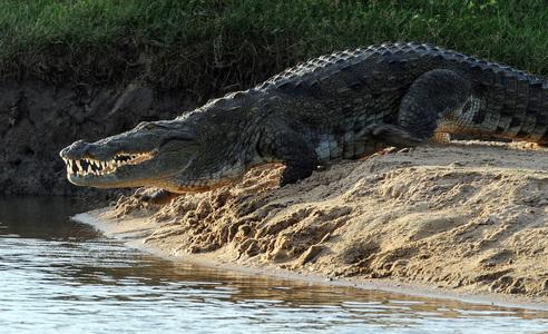 Minor girl eaten by crocodile in Sukkur