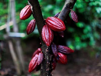 London cocoa hits 1-1/2 month peak, raw sugar hits 2-week trough