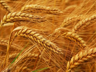 US MIDDAY: Wheat climbs; soyabeans sag