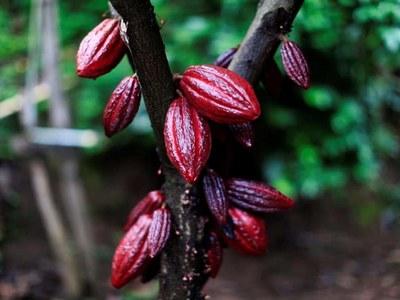 NY cocoa may test resistance at $2,445