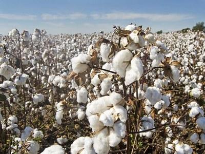 Cotton up on firm demand, weaker dollar