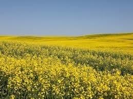 ICE canola futures dip as oilseeds weaken