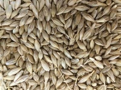 Jordan tenders to buy barley