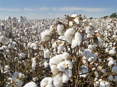 Cotton rises over 1pc