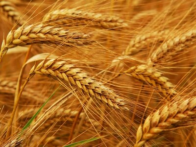 Paris wheat hits fresh contract highs