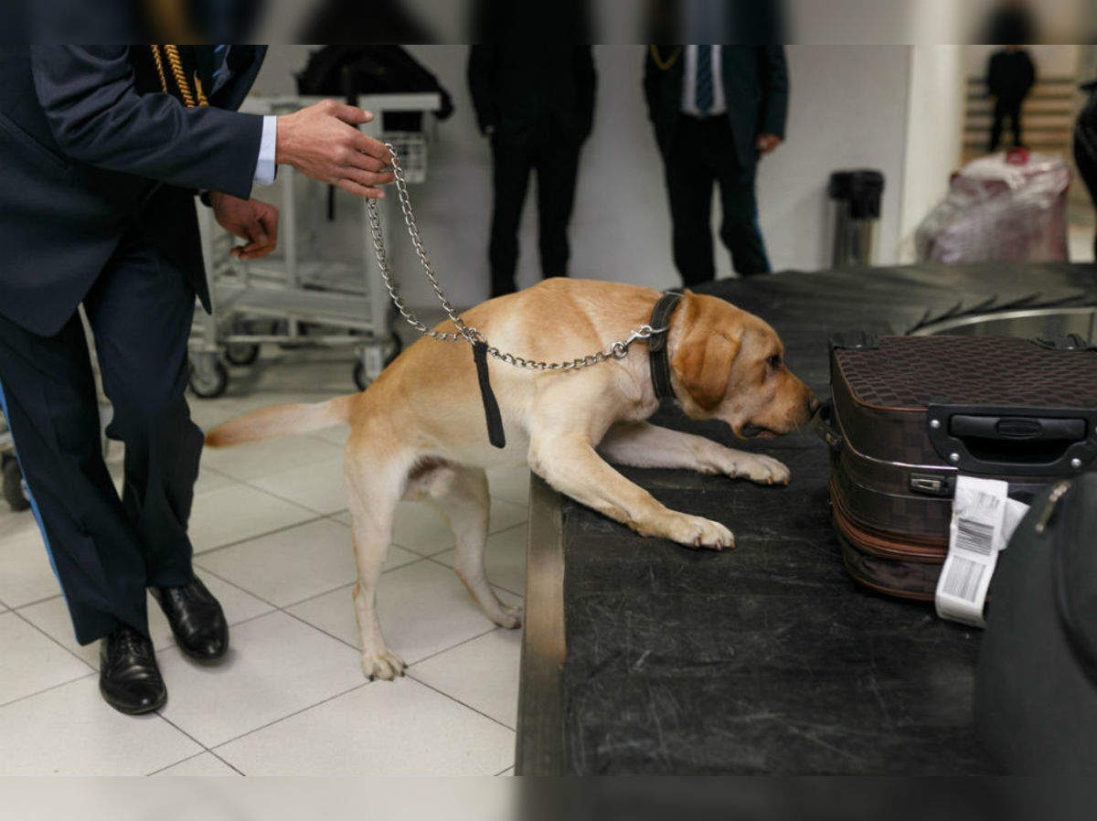 A special squad of sniffer dogs, similar to this one, was brought in to discover the hidden drugs on the aircraft.